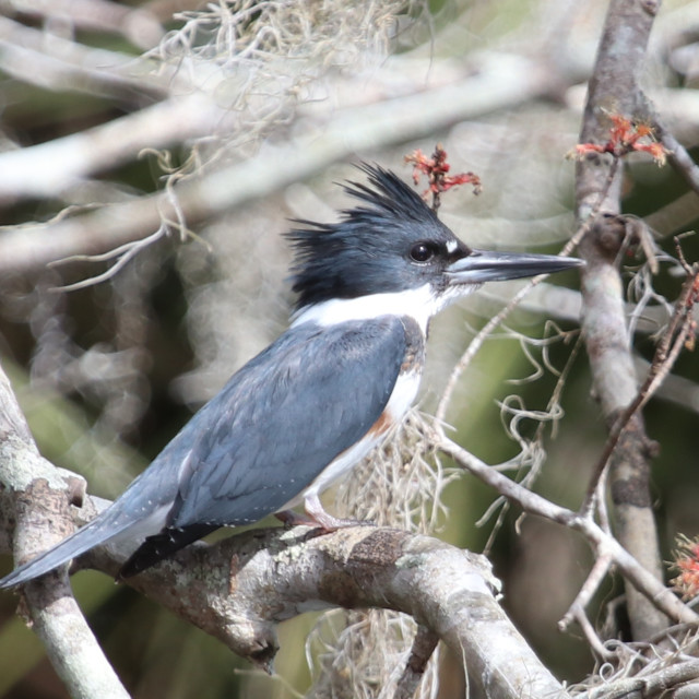 """""""Belted Kingfisher"""" stock image"""