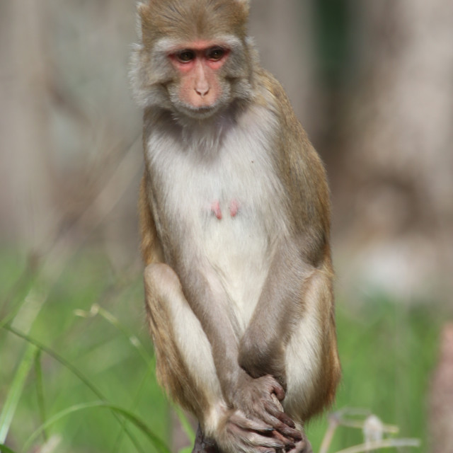 """""""Monkey on silver river"""" stock image"""