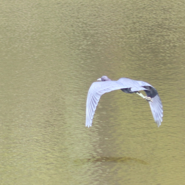 """""""Little Blue in flight"""" stock image"""