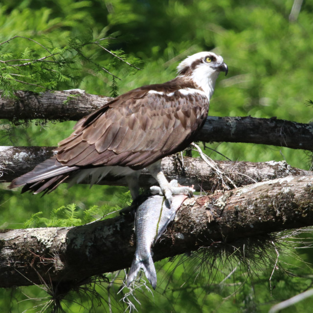 """""""Osprey eating a shad"""" stock image"""