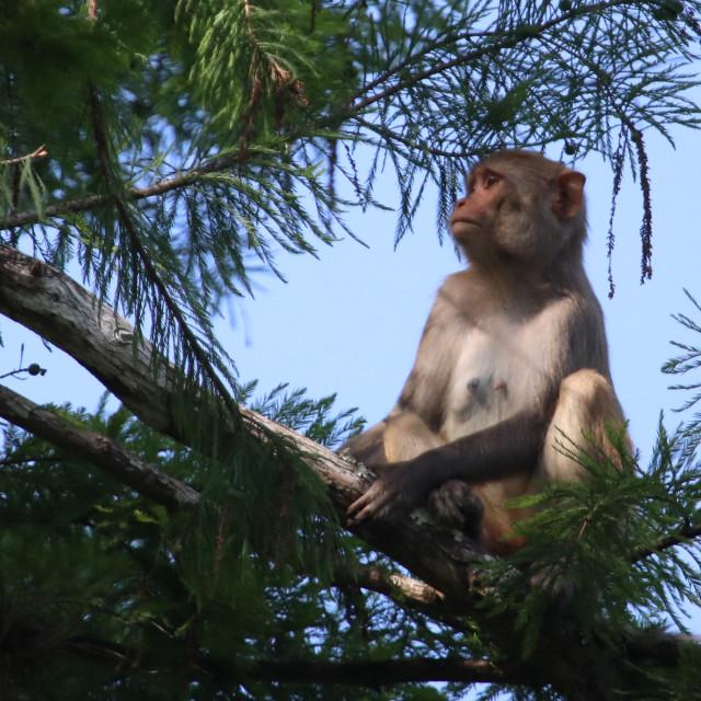 """Silver river monkey"" stock image"