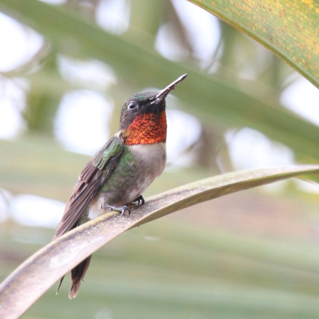 """Hummingbird"" stock image"