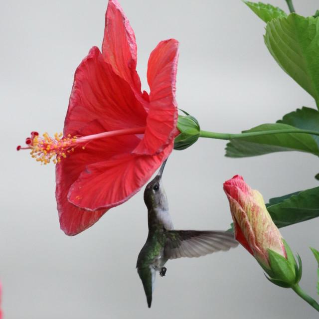"""Humming bird"" stock image"