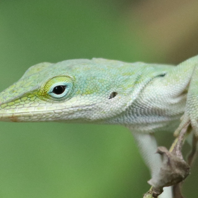 """""""green Anole"""" stock image"""