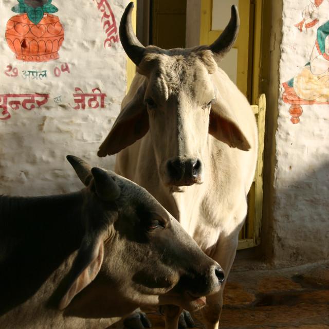 """""""Sacred Cows"""" stock image"""