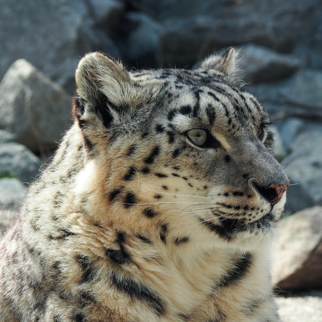 """Snow Leopard profile"" stock image"