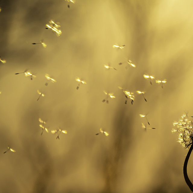 """Dandelion seeds float away in the sunset"" stock image"