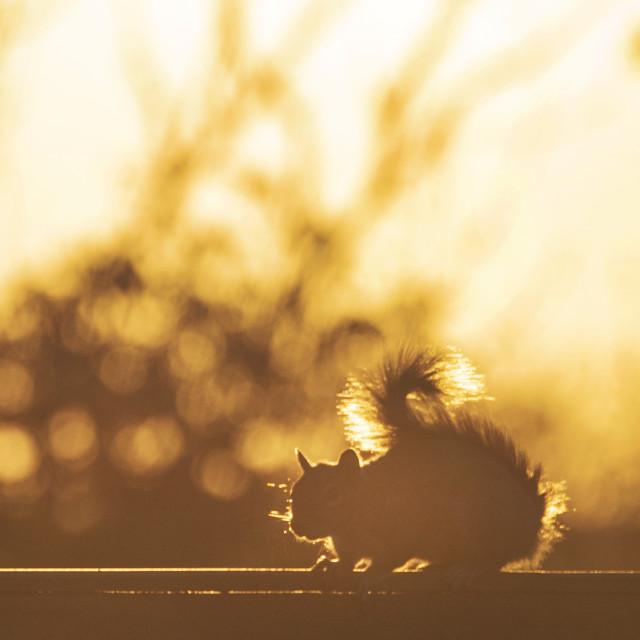 """Golden squirrel"" stock image"