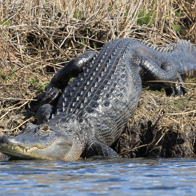 """""""Here comes a gator"""" stock image"""