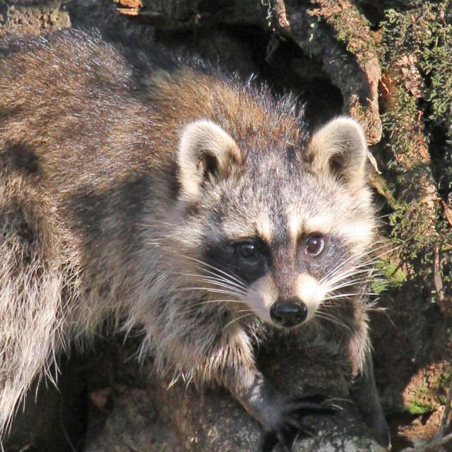 """""""raccoon"""" stock image"""