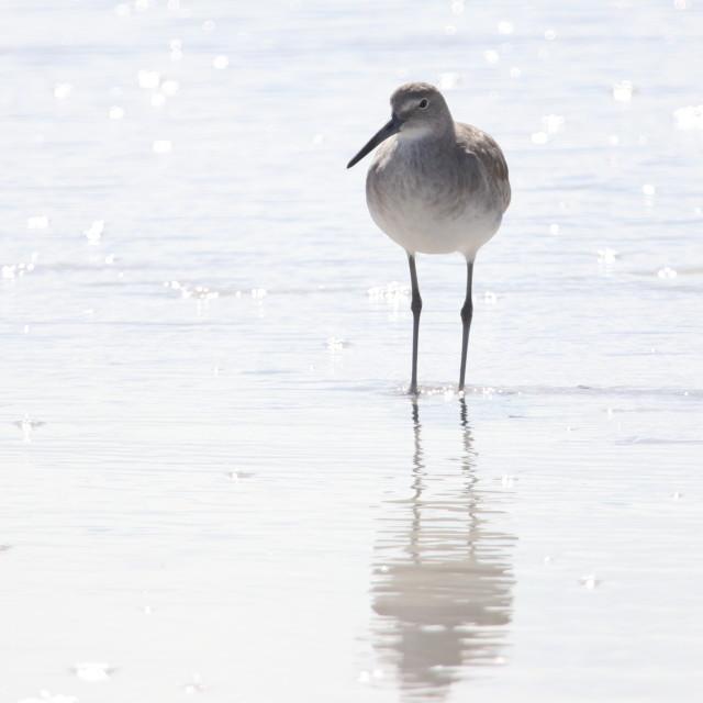 """shore Bird"" stock image"