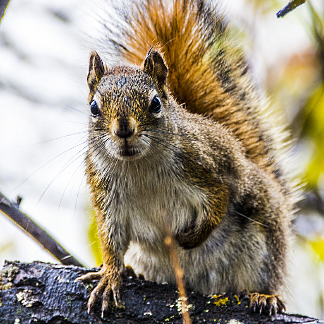 """""""The Squirrel"""" stock image"""