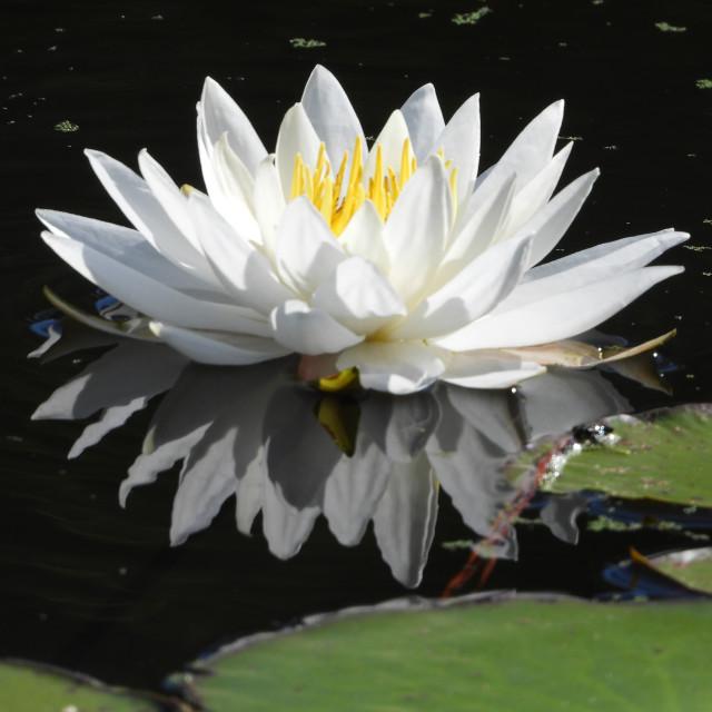 """White Waterlilies - Image 12"" stock image"