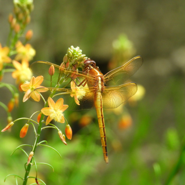 """""""Golden Dragonfly"""" stock image"""