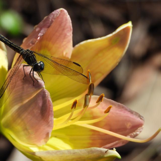"""Black Dragonfly"" stock image"