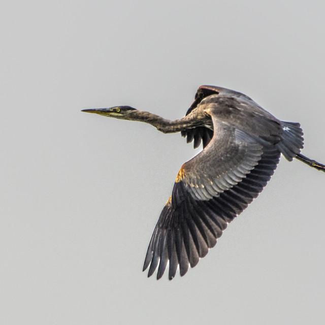 """Heron In Flight"" stock image"