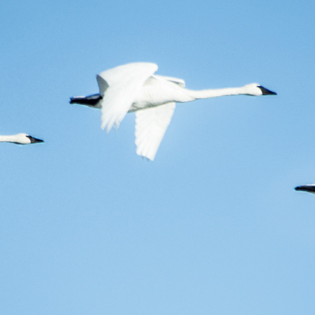 """""""Trumpeter Swans"""" stock image"""