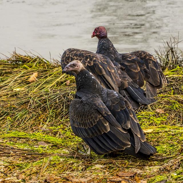 """Turkey Vultures"" stock image"