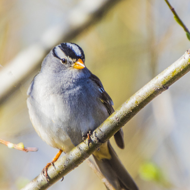 """""""White Crowned Sparrow"""" stock image"""