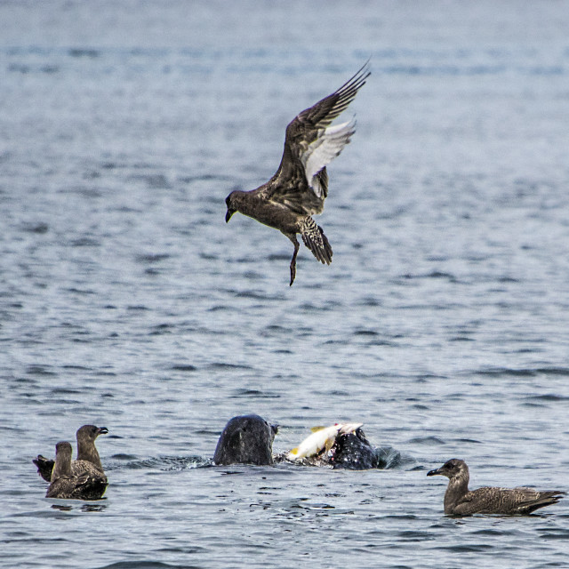 """Harbour Seal Feast On Salmon"" stock image"