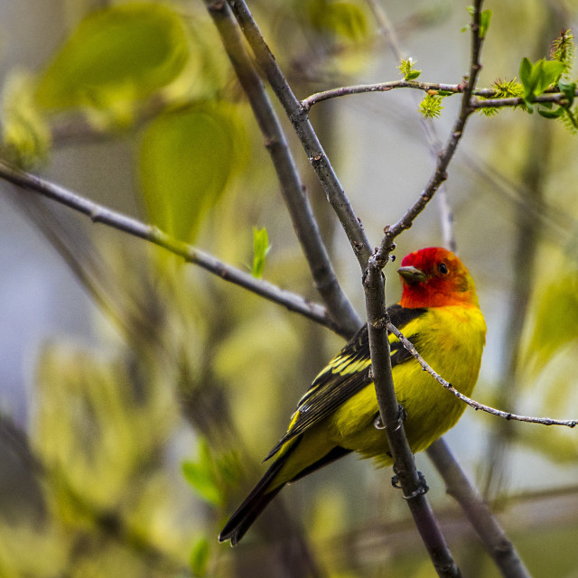 """""""Western Tanager"""" stock image"""