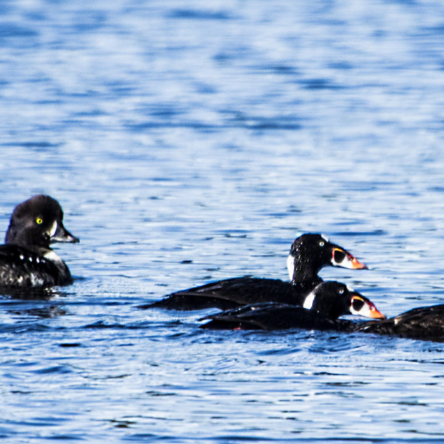 """""""Surf Scoters"""" stock image"""