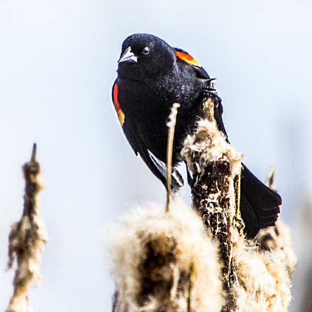 """Red-winged Blackbird"" stock image"