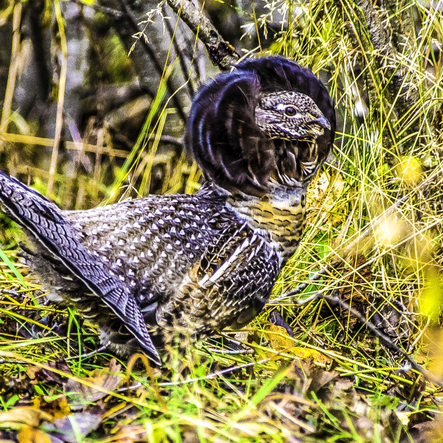 """""""Grouse"""" stock image"""