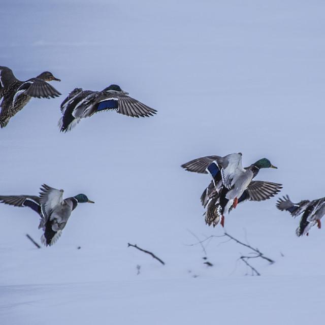 """Ducks In Flight"" stock image"