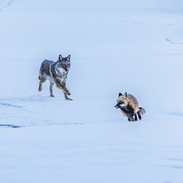 """""""Coyote chasing a fox"""" stock image"""