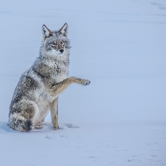 """Coyote"" stock image"
