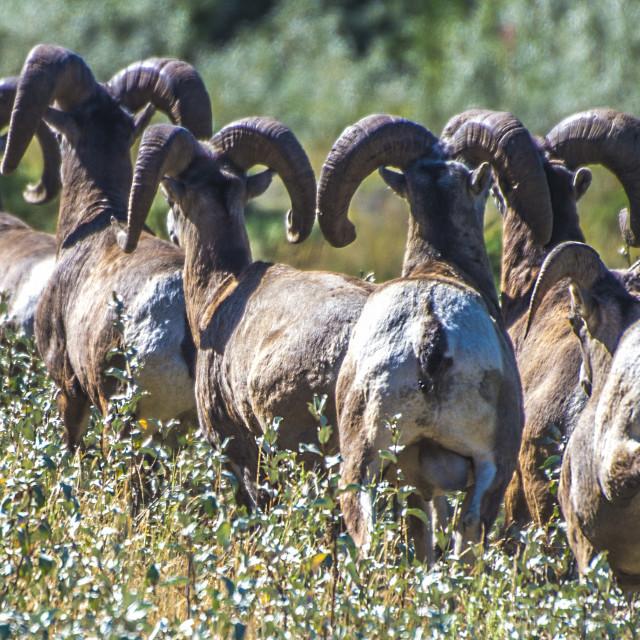"""Bighorn Sheep"" stock image"