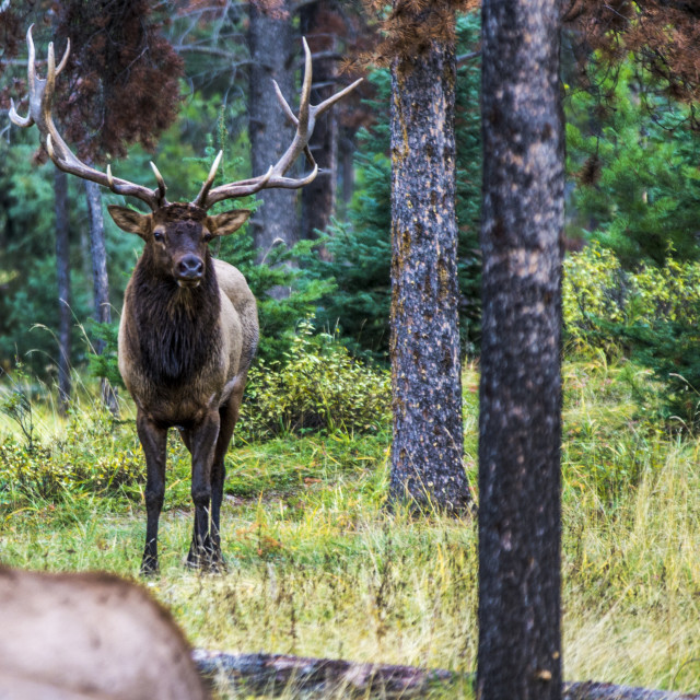 """Elk"" stock image"