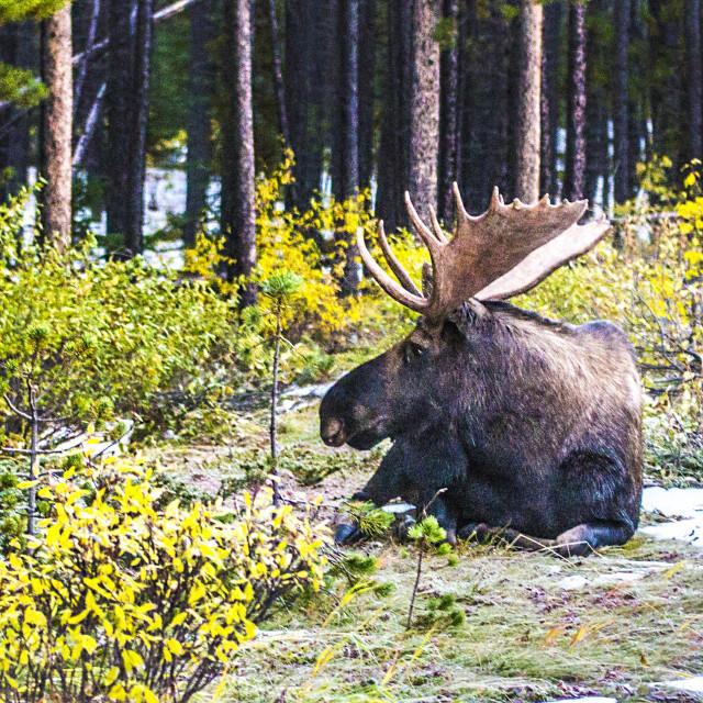 """""""Bull Moose"""" stock image"""