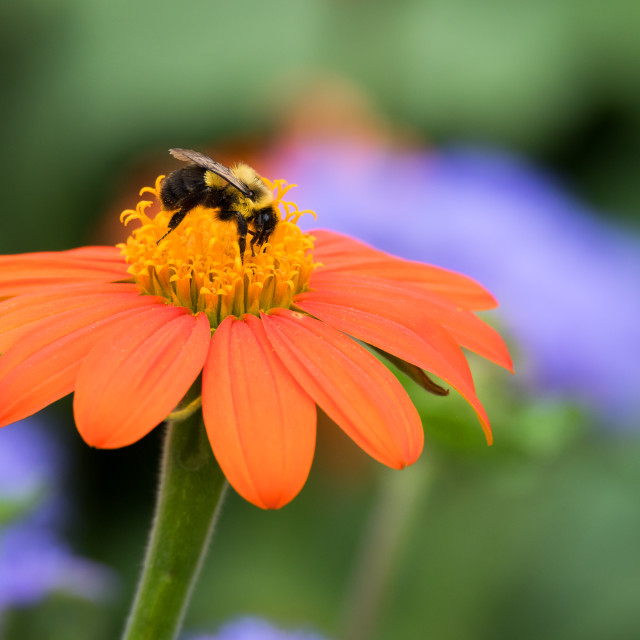 """Common Eastern Bumblebee on Mexican Sunflower"" stock image"