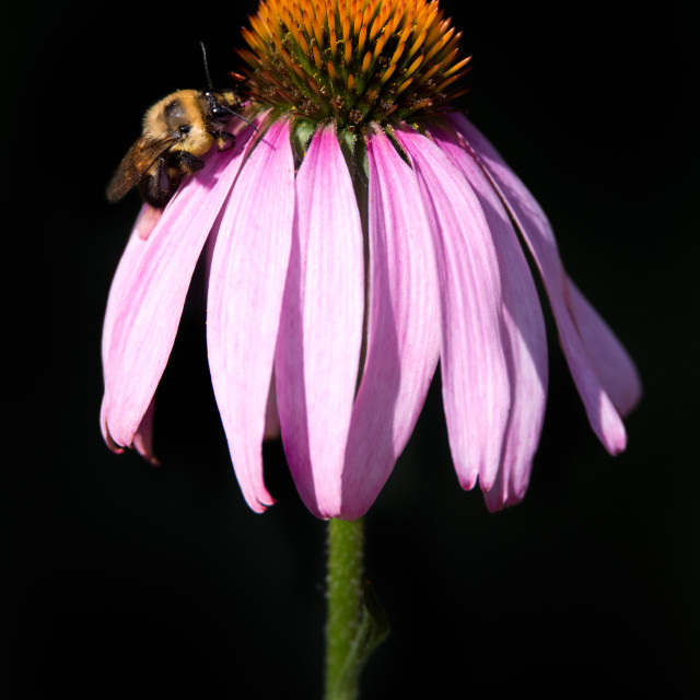 """Two-spotted Bumblebee on Purple Coneflower"" stock image"