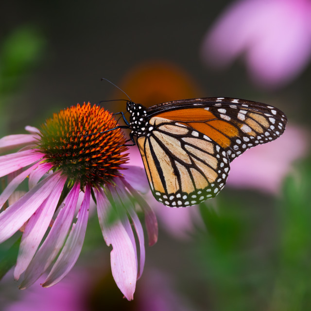 """Monarch Butterfly Feeding on Coneflower"" stock image"