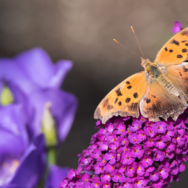 """Question Mark Butterfly on Butterfly Bush"" stock image"