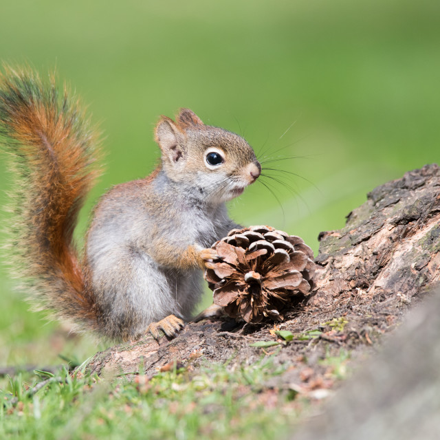 """Baby American Red Squirrel with Pinecone"" stock image"