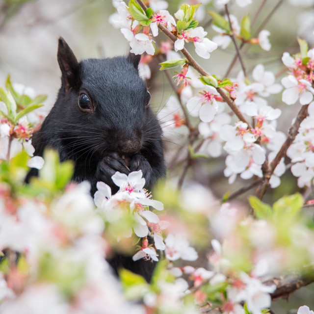 """Black Squirrel in Cherry Blossoms"" stock image"