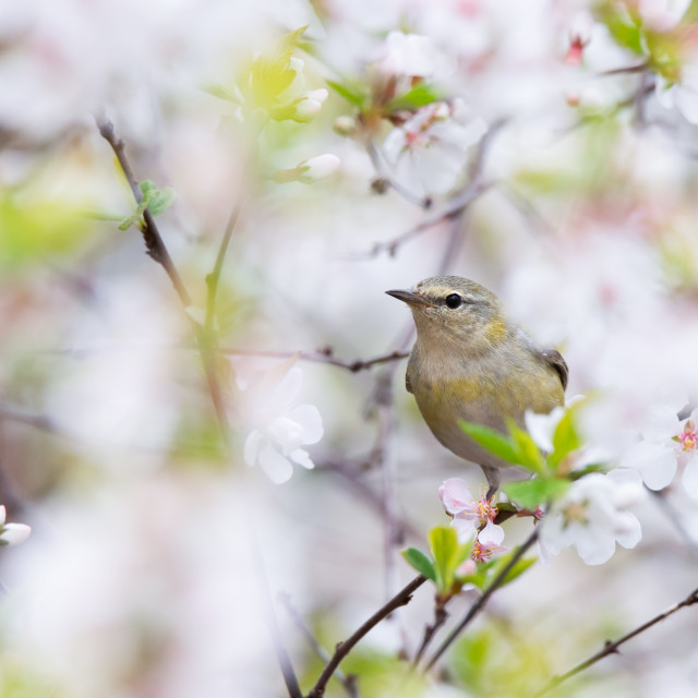 """Tennessee Warbler in Cherry Blossoms"" stock image"