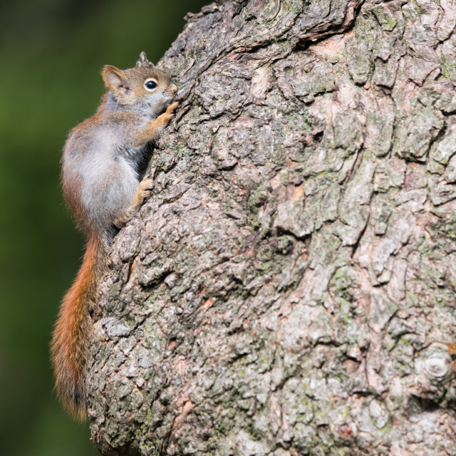 """American Red Squirrel Hiding Against Tree"" stock image"