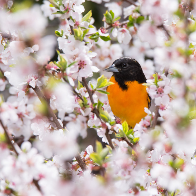 """Baltimore Oriole in Cherry Blossoms"" stock image"