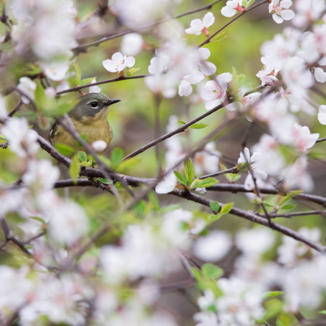 """Black-throated Blue Warbler in Cherry Blossoms"" stock image"