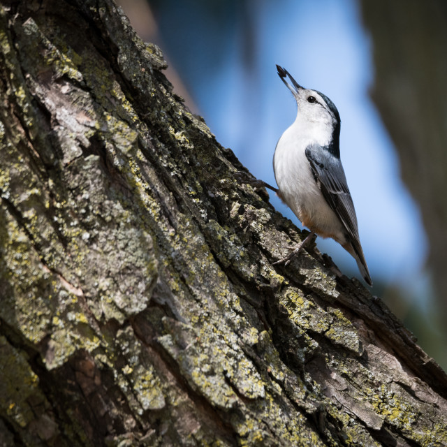 """White-breasted Nuthatch With Sunflower Seed"" stock image"