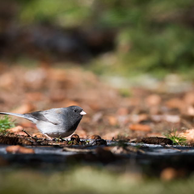 """Dark-eyed Junco Foraging In Fallen Leaves"" stock image"