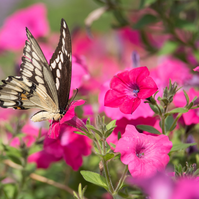 """Giant Swallowtail Butterfly in Petunias"" stock image"