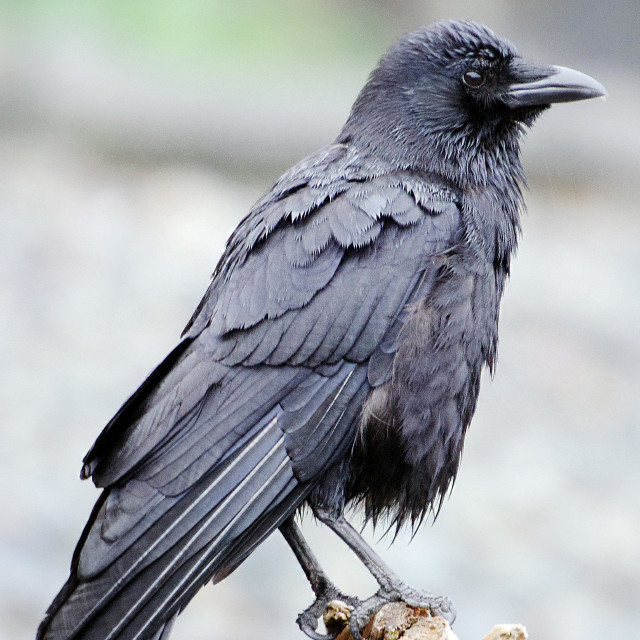"""""""Young Raven"""" stock image"""