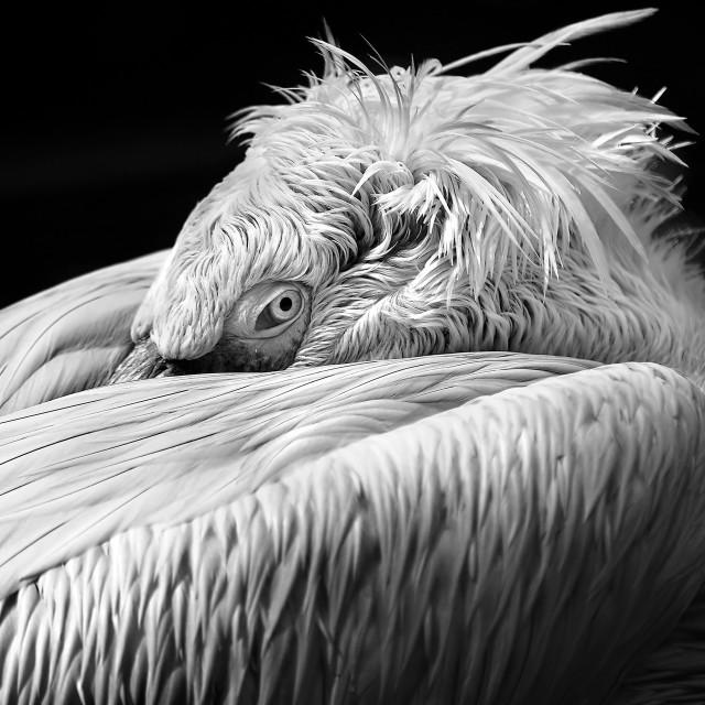 """Dalmatian Pelican Fine Art"" stock image"