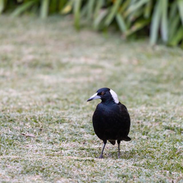 """An Australian Magpie"" stock image"